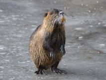 Coypu Myocastor coypus Stock Photos