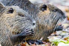 Coypu Myocastor coypus. In the nature reserve Moenchbruch near Frankfurt, Germany royalty free stock image
