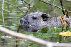 Coypu Myocastor coypus. Swimming in a pond in spring in the nature protection area Mönchbruch near Frankfurt, Germany stock images