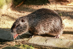 Coypu (Myocastor coypus). A coypu eating a carrot Stock Photography