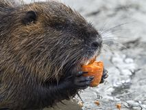 Coypu Myocastor coypus eating a carrot Stock Photos