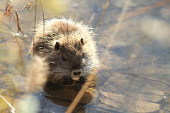 Coypu Stock Photo
