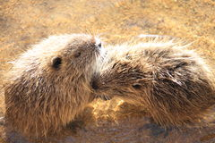 Coypu Royalty Free Stock Images