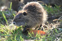 Coypu Stock Photography
