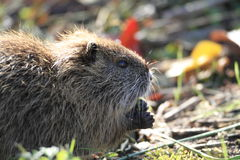 Coypu Royalty Free Stock Photography