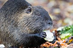 Coypu Myocastor coypus. In the nature reserve Moenchbruch near Frankfurt, Germany stock photos