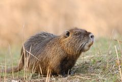 Coypu Stock Photos