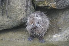 Coypu - Myocastor coypus Stock Photo
