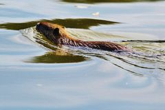 The Coypu (Myocastor coypus). Is a species of mammals of the family Myocastoridae, the only extant species of the genus Myocastor. This large rodent native to Royalty Free Stock Photo