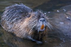 Coypu Myocastor coypus in the water Royalty Free Stock Photography