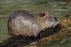 Coypu Myocastorcoypus, ocks? som ?r bekanta, som floden tjaller eller nutriaen fotografering för bildbyråer