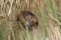 Coypu or nutria Stock Image