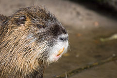 Coypu of nutria royalty-vrije stock foto