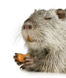 Coypu or Nutria. In front of a white background royalty free stock photography