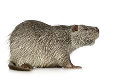 Coypu or Nutria. In front of a white background royalty free stock photos