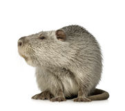 Coypu or Nutria. In front of a white background royalty free stock photo