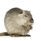 Coypu or Nutria Royalty Free Stock Photography