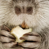 Coypu or Nutria. In front of a white background stock image