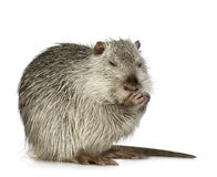 Coypu or Nutria. In front of a white background royalty free stock images
