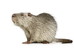 Coypu or Nutria. In front of a white background stock photo