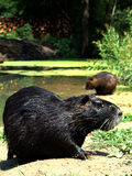 Coypu (Nutria) Royalty Free Stock Photo