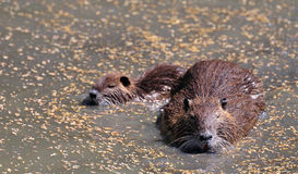 Coypu or nutria adult with its baby Royalty Free Stock Photo