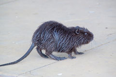 Coypu or nutria. Baby Coypu or nutria escaped from a zoo royalty free stock photography