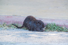 Coypu or nutria Stock Photography