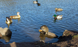 Coypu (nutria), canards et oies égyptiennes Photo libre de droits