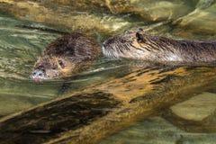 Coypu, nutria del Myocastor, anche conosciuta come il ratto o il nutria del fiume immagini stock libere da diritti