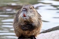 Coypu, nutria del Myocastor, anche conosciuta come il ratto o il nutria del fiume fotografie stock