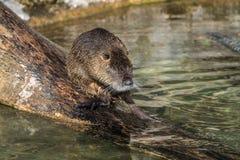 Coypu, nutria del Myocastor, anche conosciuta come il ratto o il nutria del fiume fotografia stock