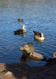 Coypu (nutria), eenden en Egyptische ganzen Stock Fotografie