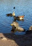 Coypu (nutria), eenden en Egyptische ganzen Royalty-vrije Stock Fotografie