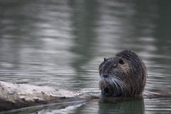 Coypu or nutria (Myocastor coypus) in the water. Coypu or nutria (Myocastor coypus)on a tree trunk in the water. It is a large, herbivorous, semiaquatic rodent Royalty Free Stock Images