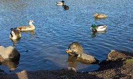 Coypu (nutria), patos e gansos egípcios Foto de Stock Royalty Free