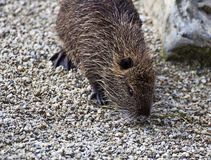 Coypu or nutria, rodent with webbed feet Royalty Free Stock Photo