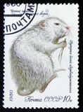 Coypu oder nutria - Myocastor Coypus, wertvolle Spezies der Reihe von den Pelztieren, circa 1980 Stockfotos
