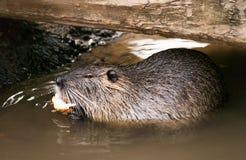 Coypu que come en el agua - Coypus del Myocastor Foto de archivo