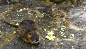 Coypu (ratto del fiume) Fotografia Stock