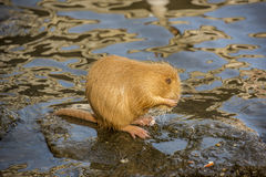 Coypu, a river rat, cleaning himself. Image with a cute Coypu cleaning himself with the paws. It's a river rat, which has the habitat on the Vltava riverside, in royalty free stock photo