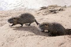 Coypu, river rat, nutria furry animal. On river bank, pair of hairy animals, wildlife stock image