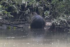 Coypu, river rat, nutria on pond. Coypu, river rat, nutria swimming on pond royalty free stock photos