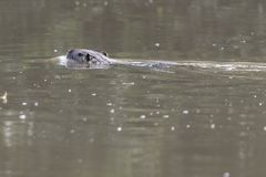 Coypu, river rat, nutria on pond. Coypu, river rat, nutria swimming on pond royalty free stock image