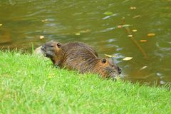 Coypu by the river stock photography