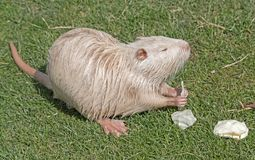 Coypu or river rat or nutria. White coypu or river rat or nutria eating a cabbage stock photos