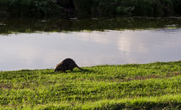 Coypu by the river side Royalty Free Stock Images
