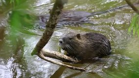 Coypu  in a river stock footage