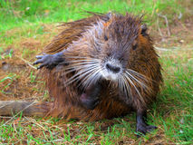 Coypu scratching yourself Royalty Free Stock Photography