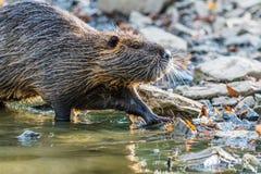 Coypu selvagem que anda em uma costa de uma lagoa pequena Provavelmente olhando Fotos de Stock Royalty Free